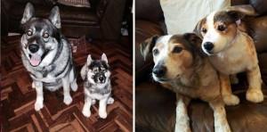 eskimo-dog-clone